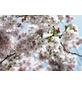 KOMAR Foto-Papiertapete »Spring«, Breite 368 cm, inkl. Kleister-Thumbnail