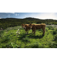 KOMAR Foto-Vliestapete »Kuhparadies«, Breite 450 cm, seidenmatt-Thumbnail