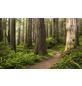 KOMAR Foto-Vliestapete »Redwood Trail«, Breite 450 cm, seidenmatt-Thumbnail