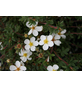 GARTENKRONE Fünffingerstrauch Potentilla fruticosa »Abbotswood«-Thumbnail