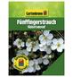 GARTENKRONE Fünffingerstrauch, Potentilla fruticosa »Abbotswood«, weiß, winterhart-Thumbnail