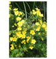 GARTENKRONE Fünffingerstrauch, Potentilla fruticosa »Dakota Sunspot «, gelb, winterhart-Thumbnail