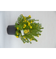 GARTENKRONE Fünffingerstrauch Potentilla fruticosa »Dakota Sunspot -R-«-Thumbnail