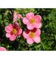 GARTENKRONE Fünffingerstrauch, Potentilla fruticosa »Lovely Pink «, rosa/pink, winterhart-Thumbnail