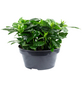 Gardenie, Gardenia, Blüte: weiß-Thumbnail