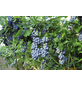 GARTENKRONE Garten-Heidelbeere Vaccinium corymbosum-Thumbnail