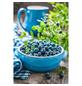 GARTENKRONE Garten-Heidelbeere Vaccinium corymbosum »Bluecrop«-Thumbnail