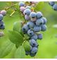 GARTENKRONE Garten-Heidelbeere, Vaccinium corymbosum »Bluecrop«, Früchte: blau, essbar-Thumbnail