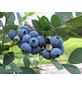 GARTENKRONE Garten-Heidelbeere Vaccinium corymbosum »Bluegold«-Thumbnail