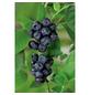 GARTENKRONE Garten-Heidelbeere Vaccinium corymbosum »Duke«-Thumbnail