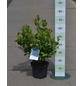 GARTENKRONE Garten-Heidelbeere, Vaccinium corymbosum »Goldtraube«, Früchte: blau, essbar-Thumbnail