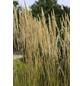 Garten-Reitgras acutiflora Calamagrostis »Karl Foerster«-Thumbnail