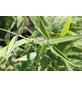 GARTENKRONE Gartenbambus murielae Fargesia »Panda«-Thumbnail