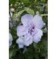 GARTENKRONE Garteneibisch Hibiscus syriacus »Blue Chiffon -R-«-Thumbnail