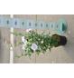 GARTENKRONE Garteneibisch Hibiscus syriacus »China Chiffon -R-«-Thumbnail