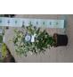 GARTENKRONE Garteneibisch Hibiscus syriacus »Diana«-Thumbnail