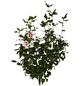 GARTENKRONE Garteneibisch Hibiscus syriacus »Hamabo«-Thumbnail