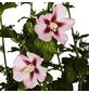 GARTENKRONE Garteneibisch, Hibiscus syriacus »Hamabo«, hellrosa, winterhart-Thumbnail