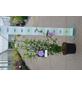 GARTENKRONE Garteneibisch Hibiscus syriacus »Lavender Chiffon -R-«-Thumbnail