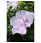 GARTENKRONE Garteneibisch, Hibiscus syriacus »Lavender Chiffon «, zweifarbig, winterhart-Thumbnail