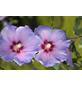 GARTENKRONE Garteneibisch, Hibiscus syriacus »Marina«, hellblau, winterhart-Thumbnail