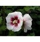 GARTENKRONE Garteneibisch Hibiscus syriacus »Red Heart«-Thumbnail
