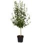 GARTENKRONE Garteneibisch, Hibiscus syriacus »Woodbridge«, rosa/pink, winterhart-Thumbnail