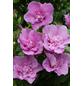 Garteneibisch, Hibiskus syriacus »Lavender Chiffon«, Blütenfarbe blau-Thumbnail