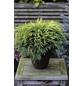 Gartenzypresse Chamaecyparis Chamaecyparis »Sunkist«-Thumbnail