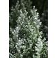 Gartenzypresse Chamaecyparis Chamaecyparis »White Spot«-Thumbnail