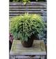 Gartenzypresse lawsoniana Chamaecyparis »Sunkist«-Thumbnail