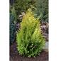 Gartenzypresse lawsoniana Chamaecyparis »Yvonne«-Thumbnail