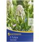 KIEPENKERL Gefüllte Tulpe Tulipa Tulipa x Hybrida »Tulipa x Hybrida«-Thumbnail