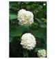 GARTENKRONE Gefüllter Schneeball Viburnum opulus »Roseum«-Thumbnail