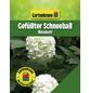 GARTENKRONE Gefüllter Schneeball, Viburnum opulus »Roseum«, creme, winterhart-Thumbnail