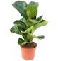 Geigenfeige Ficus lyrata-Thumbnail