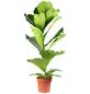 Geigenfeige, Ficus lyrata, im Kunststoff-Kulturtopf-Thumbnail