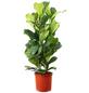 Geigenfeige, Ficus Lyrata, Topf-Ø: 34cm-Thumbnail