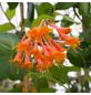 GARTENKRONE Geißblatt Lonicera brownii »Dropmore Scarlet«-Thumbnail