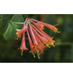 GARTENKRONE Geißblatt, Lonicera brownii »Dropmore Scarlet«, orange, winterhart-Thumbnail