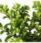 GARTENKRONE Geißblatt, Lonicera nitida »Maigrün«, creme, winterhart-Thumbnail