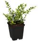 GARTENKRONE Geißblatt, Lonicera nitida »Moss Green«, creme, winterhart-Thumbnail