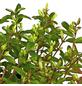 GARTENKRONE Geißblatt, Lonicera nitida »Red Tip«, creme, winterhart-Thumbnail