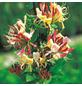 GARTENKRONE Geißblatt Lonicera periclymenum »Belgica Select«-Thumbnail