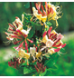 GARTENKRONE Geißblatt, Lonicera periclymenum »Belgica Select«, zweifarbig, winterhart-Thumbnail