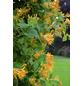 GARTENKRONE Geißblatt, Lonicera tellmaniana, gelb, winterhart-Thumbnail