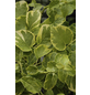 Gelbbunte Kletterhortensie Hydrangea petiolaris 'Miranda' ® Hydrangea  »Miranda«-Thumbnail