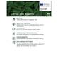 Gelbbunter Hartriegel, Cornus alba »Spaethii«, Blütenfarbe weiß-Thumbnail