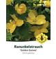 Gelbbunter Ranunkelstrauch, Kerria japonica »Golden Guinea«, Blütenfarbe goldgelb-Thumbnail