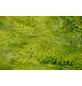GARTENKRONE Gelbe Gartenzypresse Chamaecyparis lawsoniana »Ivonne«-Thumbnail